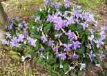 긴잎제비꽃