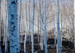 경북영양의 자작나무 숲