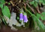 금강초롱꽃
