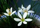 흰꽃나도사프란
