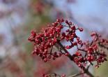 가막살나무